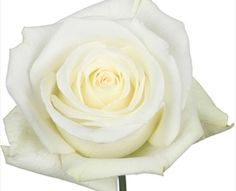 Mount Everest - Standard Rose - Roses - Flowers by category   Sierra Flower Finder