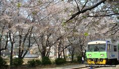 봄의 왈츠에서 나왔던 벚꽃이 흩날리던 기차역과 벚꽃 아래를 지나가는 기차 A train station covered with falling cherry blossom petals and a train passing by...