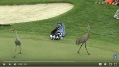 Video, Golf, Tours, Animals, Iguanas, Animaux, Animal, Animales, Wave