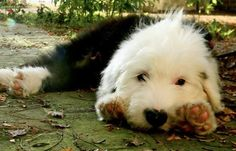 Stanley the Old English Sheepdog - Oh just so cute that face! I could die