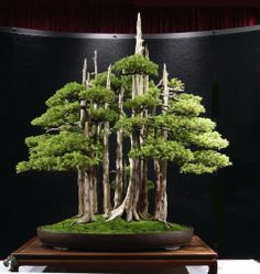 Foemina Juniper - About 70 years old