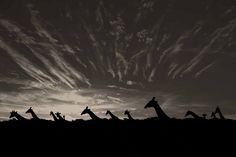 Namibia -- giraffes -- incredible photo!