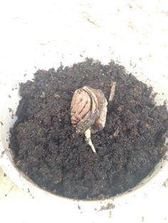 comment faire pousser un abricotier partir d 39 un noyau jardinage pinterest comment. Black Bedroom Furniture Sets. Home Design Ideas