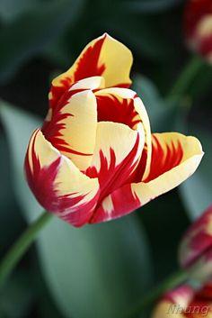 Tulip @ Keukenhof Gardens, Lisse, the Netherlands