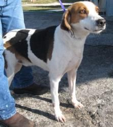 Sawyer is an adoptable Treeing Walker Coonhound Dog in Williston, FL. I was scheduled to be euthanized at Levy County Animal Services when Second Chance Rescue came and saved me. Im now being fostered...