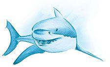 realistic shark drawing - Google Search