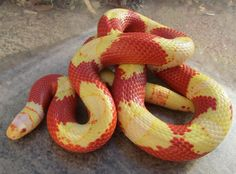 colors of milk snakes - Bing Images