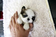teacup shih tzu I NEED A BABY-SINGH. I MISS MY GIRL SO MUCH! lookit how CUTE!