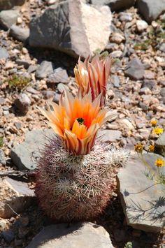 Echinocereus dasyacanthus subsp. rectispinus, Mexico, Chihuahua, Alamos de Pena  More Pictures at: http://www.echinocereus.de