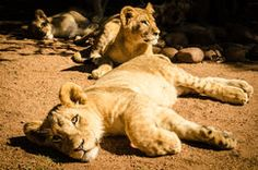 Lions Stock Photo Royalty Free Photos, Lions, Pictures, Photography, Animals, Image, Photos, Lion, Photograph