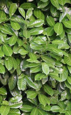 Der Kirschlorbeer (Prunus laurocerasus) ist ein immergrüner Strauch und gehört zur selben botanischen Gattung wie die Kirschen und Pflaumen. Er eignet sich je nach Sorte für ein bis zwei Meter hohe Hecken in Sonne und Schatten. Kirschlorbeer hat keine besonderen Bodenansprüche: Er verträgt Trockenheit und wächst auch im Wurzelgeflecht höherer Bäume. Mit ihren derben, glänzenden Blättern eignet sich eine Kirschlorbeerhecke hervorragend für mediterran gestaltete Gärten. Die Hecken werden…