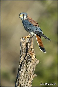 Kestrel - usedto be called Sparrow Hawk