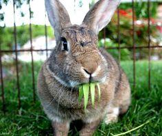 Rabbit - Lola on www.yummypets.com