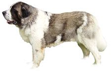 Pyrenean Mastiff Dog Breed Information - American Kennel Club Mastiff Dog Breeds, Akc Breeds, Mastiff Puppies, Chihuahua Puppies, Dogs And Puppies, Giant Dog Breeds, Giant Dogs, Pyrenean Mastiff, Fierce Animals