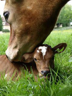 All animals love #motherhood #cows #calfs