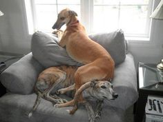 Greyhound Dogs - are we comfy yet?