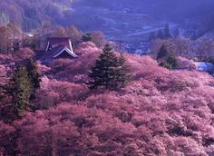 CherryBlossoms of Takato Castle. Just amazing.