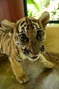 Cute cubbie at Tiger Kingdom, Chiang Mai.