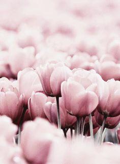 tulipas rosas!!! :O