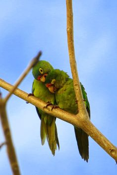 Two green parrots in love ... so cute!! You see these guys everywhere in Costa Rica