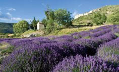 Explore the Provence region with this Wine travel guide to Provence including insider tips from Winerist's local experts. Book your Provence wine holiday online from our selection of hand-picked boutique hotels, wine tours and wineries. Lavender Cottage, Lavender Fields, Lavander, Provence Lavender, Lavender Tea, Countryside Wallpaper, How To Propagate Lavender, Design Jardin, Gardens