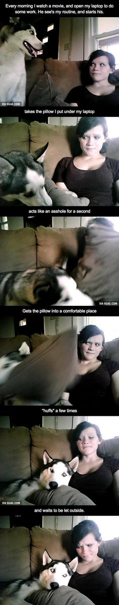 I have a wolf-hybrid, This is his morning routine. This is adorable!!!! #dogsfunnyawkwardmoments