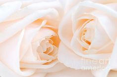 Two delicate high key beige roses macro floral background Wedding Trends, Wedding Tips, Wedding Planning, Sunday Rose, Pastel Roses, Pink Roses, Wonderful Flowers, Heart Sign, Love Is All