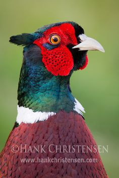 A male ring-necked pheasant cranes his neck in between bits of grass
