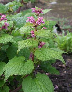Lamium orvala - I think I have this from Ingrid Planting Plan, Hardy Perennials, Colour Schemes, Garden Styles, Garden Plants, Shrubs, The Balm, Garden Design, Exotic