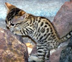 Foothill Felines Teacup as a Bengal kitten- I would love this kitten! Crazy Cats, I Love Cats, Cute Cats, Kittens Cutest, Cats And Kittens, Cutest Pets, Kitty Cats, Bengal Cat Breeders, Bengal Cats