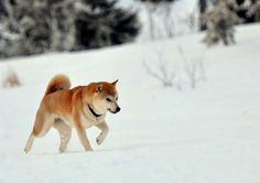 Alert, active, and attentive, shibas are one of Japan's oldest breeds and the most popular companion... - Getty