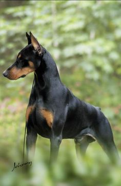Doberman  if you have ever had one, you will know how wonderful they are