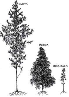 Differences Between Sativa and Indica Marijuana | Weedist