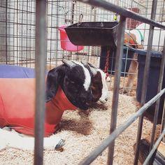 The life of a goat.  #StockShowKid #StockShow2017 #ShowMom #Blessed #LivingTheDream #LoveThisLife #Goats