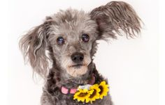 ONLY 6 HOURS LEFT TO HELP! Monkey - toy poodle mix with past of abuse & severe injury, requires therapy/vet care - HELP MONKEY HERE! http://fundapetmiracle.com/projects/monkeys-therapy1/973