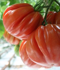 Ineffable Secrets to Growing Tomatoes in Containers Ideas. Remarkable Secrets to Growing Tomatoes in Containers Ideas. Baby Tomatoes, Heirloom Tomatoes, Grow Tomatoes, Fruit And Veg, Fruits And Vegetables, Pruning Tomato Plants, Best Tasting Tomatoes, Organic Gardening Magazine, Produce Stand