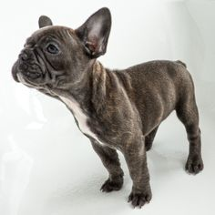 "French Bulldog Puppy - Frenchie ""Izzie"""