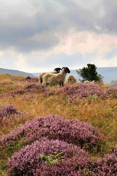 North York Moors in North Yorkshire, UK. Yorkshire England, Yorkshire Dales, North Yorkshire, Cornwall England, Scottish Cottages, Nature Sauvage, British Countryside, Wuthering Heights, British Isles