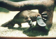 platypus venom painful immediate longlasting - 236×162