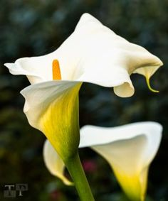 Calla Lily by Tactile Photo