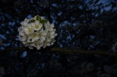 Cherry Flower by Norbert Baranyai  on 500px