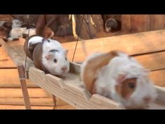 Glückliche Meerschweinchen spazieren über eine Brücke