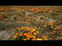 The Antelope Valley is famous for it's yearly spring display of CA poppies.