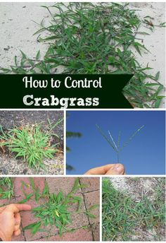 How to prevent and get rid of crabgrass & weeds organically.