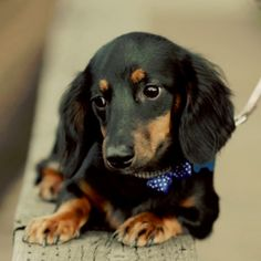 Mae Mae-How cute is she?  I have one 12 yrs old and she is still this adorable! Doxie Puppies, Weenie Dogs, Dachshund Love, Daschund, Dogs And Puppies, Doggies, Long Haired Miniature Dachshund, Wire Haired Dachshund, Miniature Dachshunds