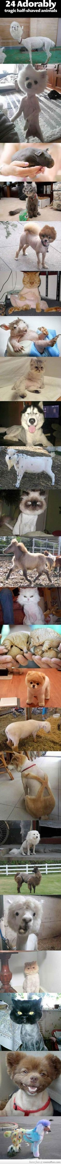 24 Adorably Tragic Half-Shaved Animals. Oh my word...hah