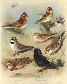 Larks - Wood, Sky, Shore, Crested, Black
