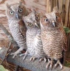 tres owls