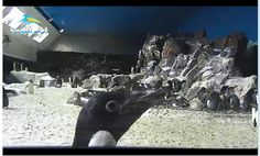 My students LOVED watching this live penguin cam during our penguin unit!