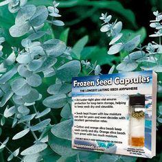 Silver Dollar Eucalyptus Seeds (Eucalyptus cineraria) + FREE Bonus 6 Variety Seed Pack - a $30 Value!